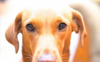 Колит у собак — воспаление толстого отдела кишечника