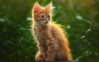 Сонник – рыжий котенок