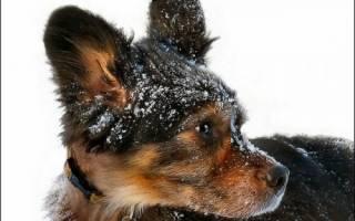 Себорейный дерматит у собак: диагностика, лечение, меры профилактики