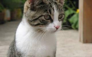 Как появляется красная моча у кошки