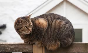 Откуда берутся шишки на животе у кошки