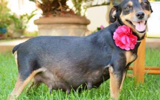 Как и чем кормить беременную собаку, чтобы сохранить её здоровье
