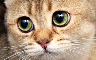 Глазные капли Ципролет для кошек