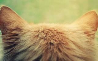 Лечение ушного клеща у кошек от народных средств до современных препаратов