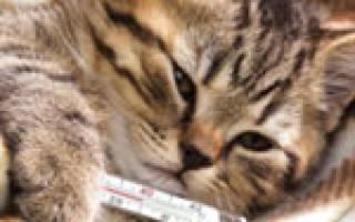 Колит у кошек — воспаление толстого отдела кишечника