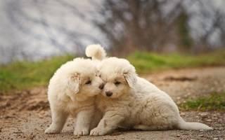 Пиренейская горная собака — придворная собака Франции
