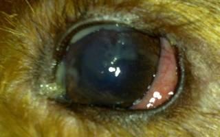 Почему гноятся глаза у собаки? Выясняем причины и чем лечить
