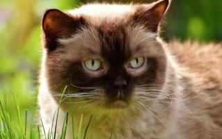 Бартонеллез у кошек: особенности заболевания и методы лечения