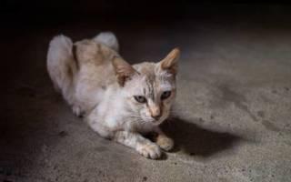 Анорексия у кошек — причины и список препаратов для лечения