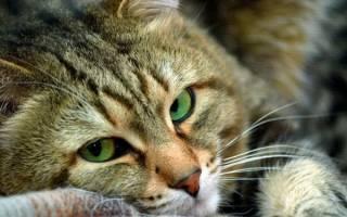 Гастроэнтероколит у кошек — особенности развития и лечения тяжелейшей патологии
