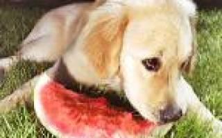 Разбираемся какие фрукты можно собакам: рекомендации по введению в прикорм