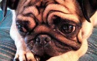 Ваша собака трясется? Разбираемся в причинах