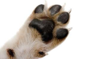 Сколько пальцев у собаки