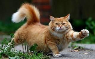 Парапроктит у кошек: основные признаки заболевания