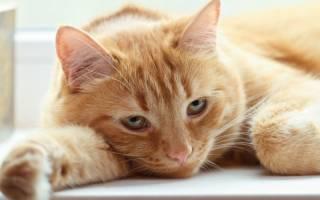 Диспепсия у кошек: причины, диагностика и лечение