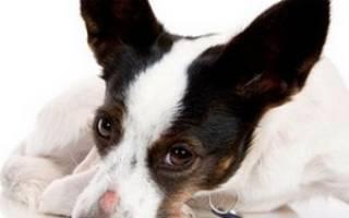 Болезни кожи у собак: клинические проявления и диагностика