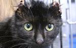 Что делать, если кошка отморозила уши?
