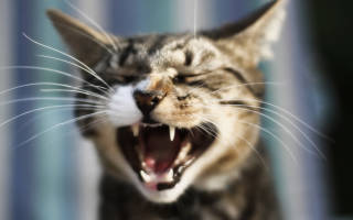 Сколько зубов у взрослого кота