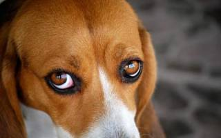 У собаки красные белки глаз? Разбираемся в причинах