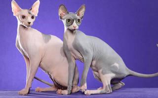 Порода лысых кошек