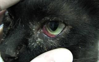 Причины воспаления глаз у кошек и способы его снятия