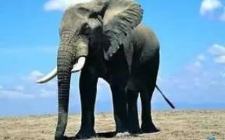 Сколько весит слон при рождении