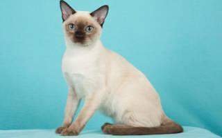 Тонкинская кошка (Тонкинез)