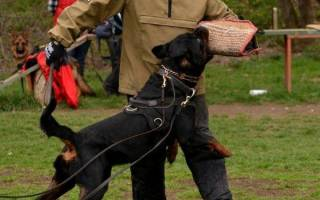 Как обучить собаку команде фас?