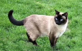 Сколько живут тайские кошки
