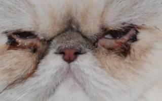 Как лечить коньюктивит у кошек
