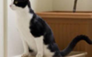 Воспаление простаты у кота: клиническая картина заболевания и терапия