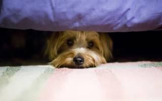 Собака боится громких звуков: причины и приёмы преодоления