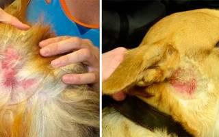 Ошейник от блох и клещей для собак: лучший выбор?