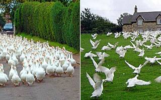 Выращивание гусят: бройлерные гуси
