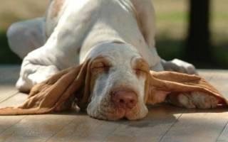 У собаки из уха неприятный запах: причины, лечение