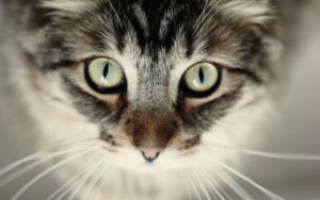 Слепота у кошек — признаки и причины