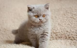 Что делать, если слезятся глазки у британских или шотландских котят