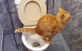 Котенок не ходит в туалет по большому: причина
