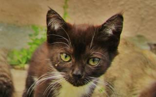Коричневые выделения у кошки из глаз: причины, лечение