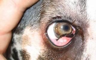 Лечение заболеваний третьего века у собак