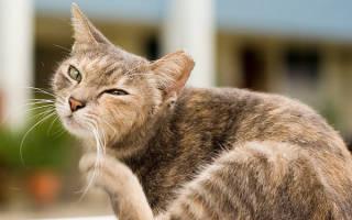 Что делать, если у котенка грязные уши