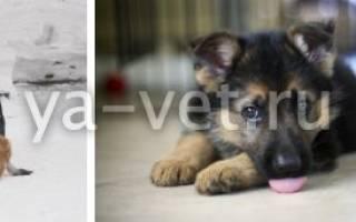 Рахит у собак и щенков: симптомы и лечение болезни роста
