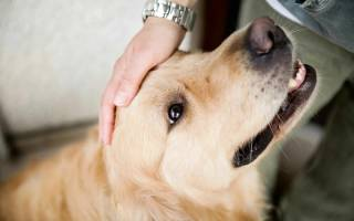 У собаки набухли молочные железы после течки: тревожный симптом