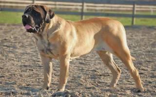 Самая большая собака в мире: ТОП-3 рейтинг