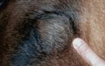 Гематома у собаки