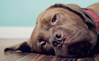Собаку рвет желчью: причины, симптомы, лечение