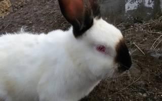 Как вылечить пастереллез у кроликов