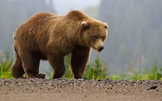 Почему медведь сосёт лапу