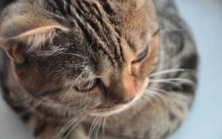 Токсокароз у кошек: симптомы и внешний вид паразита