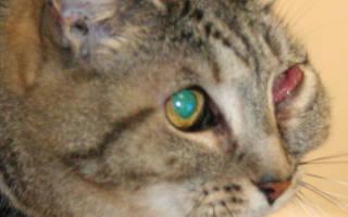 Гнойный конъюнктивит у кошек: причины, признаки, лечение